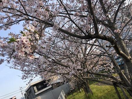 【川内駅テラス】現地周辺の桜が咲きました。