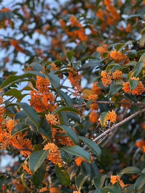 【長嶺南グラッセ】秋の香り