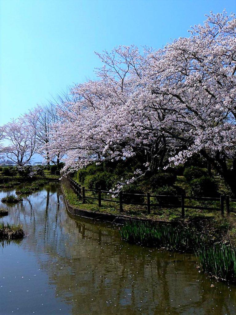 【小郡駅前レジデンス】城山公園の桜が見頃です♪