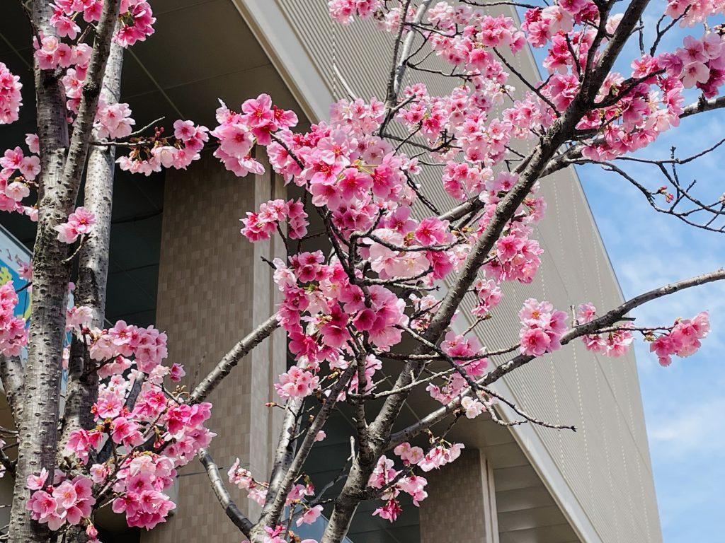 【国分中央レジデンス】桜だより